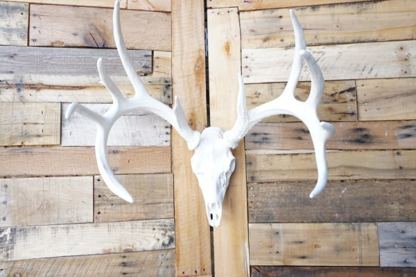 Whitetail Deer European Mount